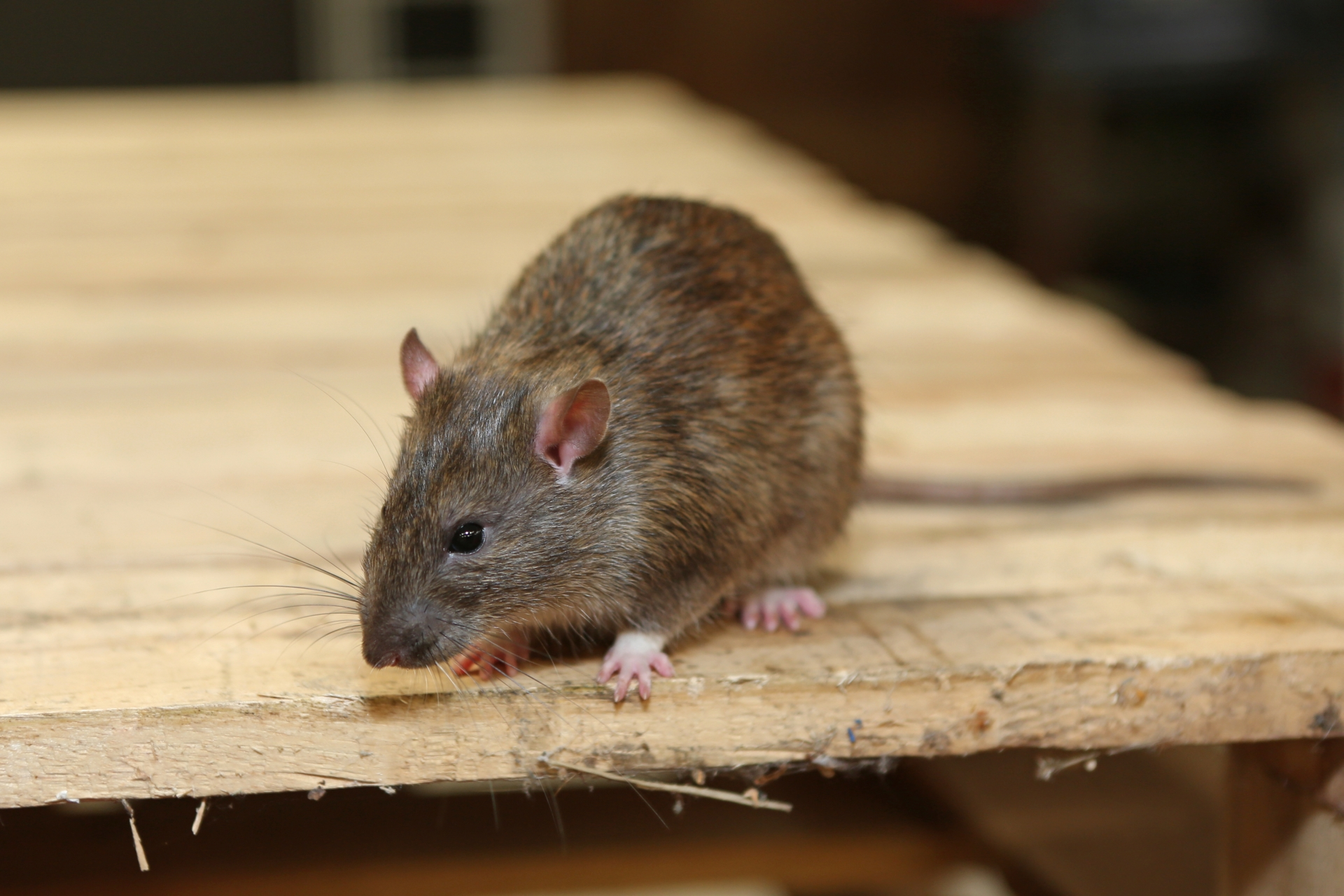 Rat extermination, Pest Control in Finchley Central, N3. Call Now 020 8166 9746